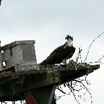 Ospreys out on the lake!