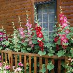 Hollyhocks in front of the house.