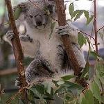 Cutee Koala