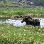 Moose in the pond!