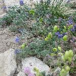 Sierra Wildflowers