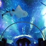 The impressive ocean tunnel home to the Bowmouth Guitar Shark & 15 other sharks, some over 7ft l
