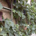 grapes at the schoolwindow