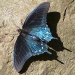 Blue Butterfly at Indian Creek Falls