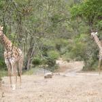Giraffen hautnah erleben