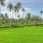rice field view from villa sabandari