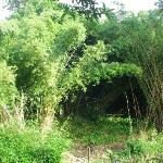 The bambus