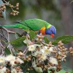 Rainbow Lorikeet eating Eucalyptus Nectar