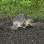 A sea turtle laying eggs on our beach
