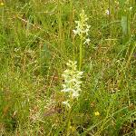 "Butterfly orchids in ""lawn"""
