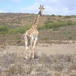 Giraffes we saw on a game drive 5 minutes from Cheetah Lodge