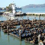 Pier 39 Seelöwen konnten nicht vertrieben werden.