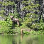 Moose at Fishercap Lake