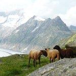 Glacier sheeps