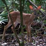deer fawn on Sink Hole Loop trail