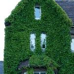 The ivy in the front