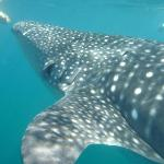 Snorkel w/ Whale Sharks!!