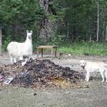 Toby and one of the llamas