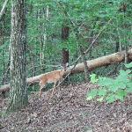deer off the deck