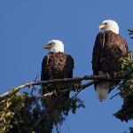 Bald Eagles in Suquamish