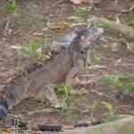 Iguana on river