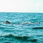 ゆったり泳ぐジンベイザメ