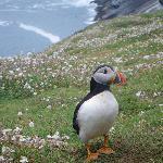 puffin on Skommer Island