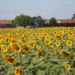 Sunflowers outside the hotel
