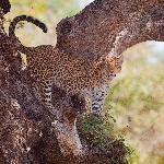 Leopard in a Tree!