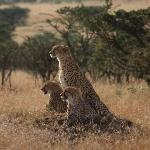 A mother cheetah and her two year old cubs!