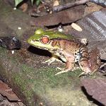 Amazon bull frog