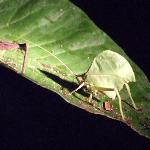 Leaf-mimicking katydid on night-time safari