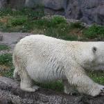 Der kleinwüchsige Eisbär