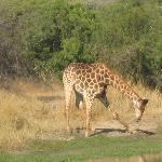Giraffe Getting Down to Drink