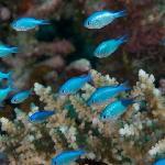 Blue Antheas on Wakaya Reef