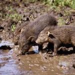 Hoglets at a wallow