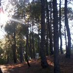 The adjoining pine forest