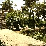 Geese on the property