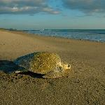 Turtles nesting on the beach...