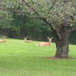 The deer are frequent visitors.