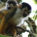 Spider Monkeys - taken on the day hike in Corcovado