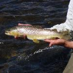 brown trout on the Madison River