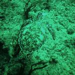 Green sea turtle at Charlie's reef