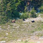 Bears on Whistler Mt