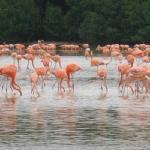 flamencos de rio lagartos