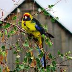 Margate Cottage Boutique Accommodation-Green Rosella .JPG