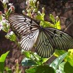 Grote vlinder