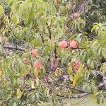 Harmony Hill- Peaches growing on site