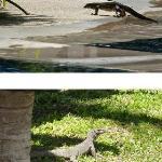 Lézards : sortant de la piscine et dans les espaces verts de l'hôtel.