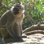 Mlilwane Monkey